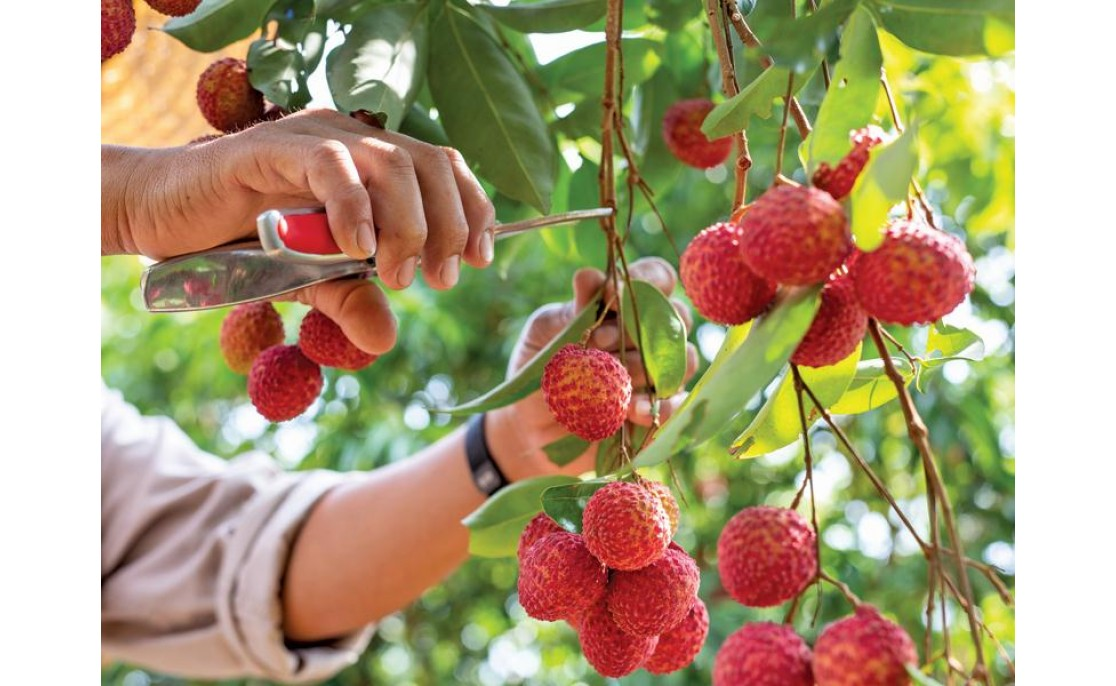 Vietnamese Thieu Litchi 2020: Good Crop, High Price