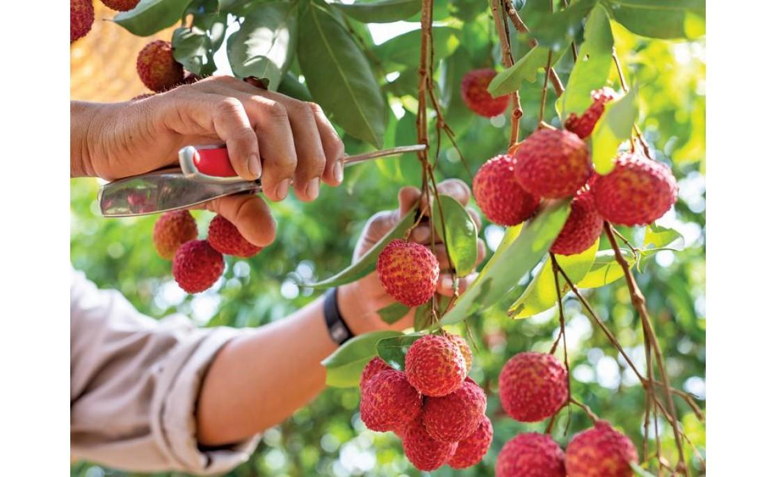 Vietnamese Thieu Litchi 2020: Good Crop, High Price