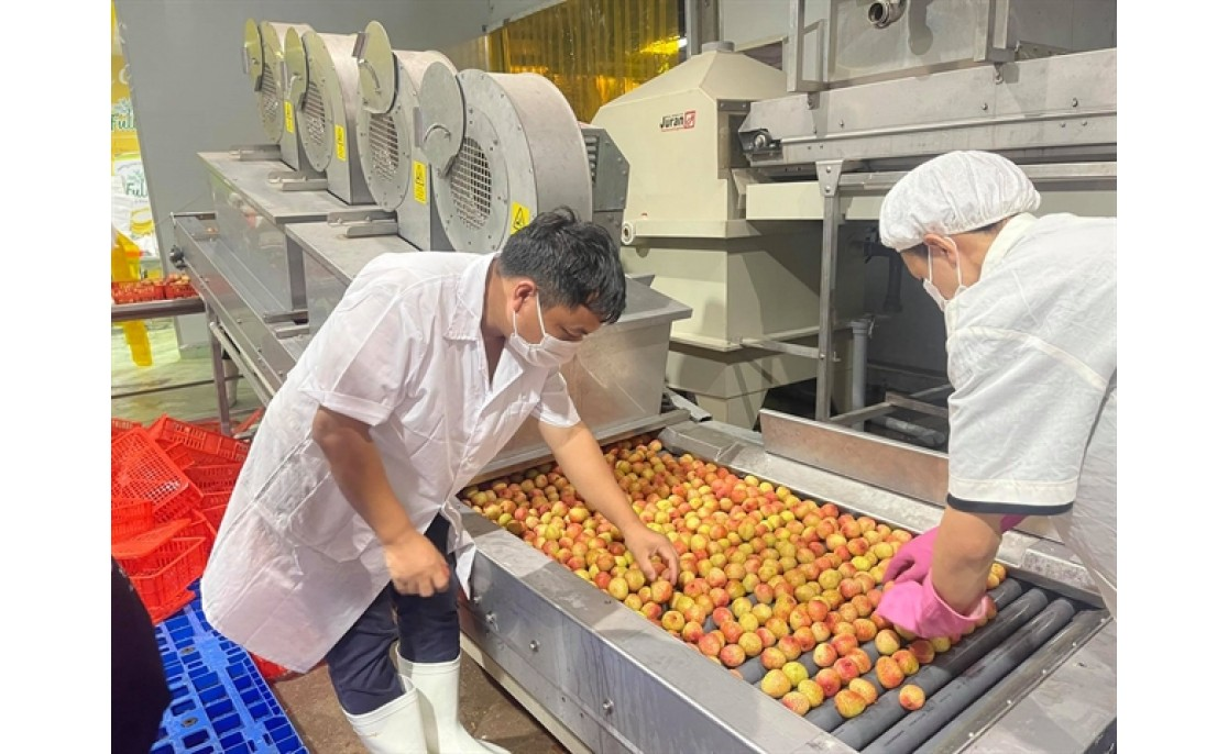 20,000 tons of lychee exported to Japan